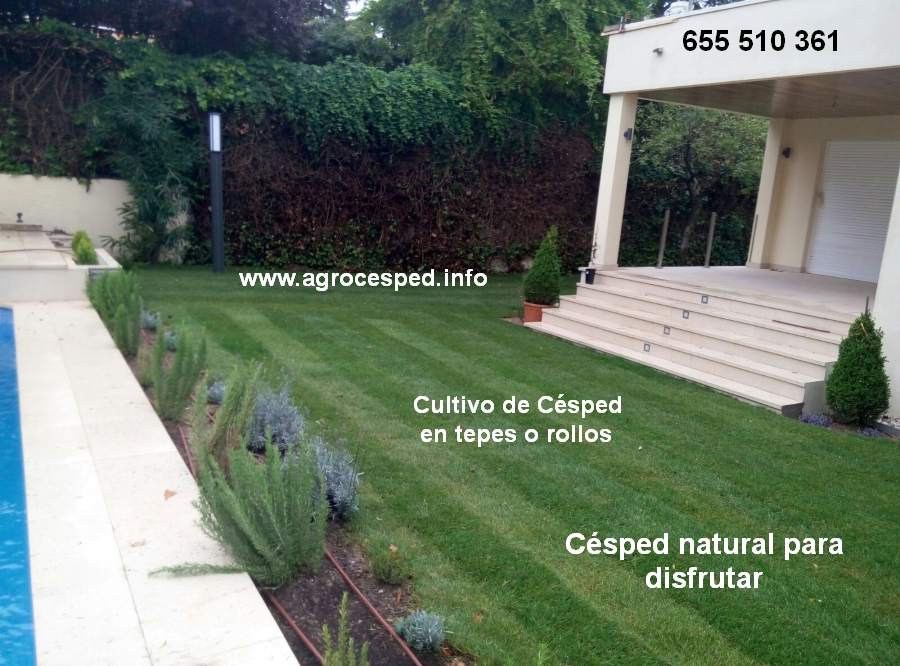 Poa pratensis archives agrocesped c sped y jardiner a - Como plantar cesped natural ...