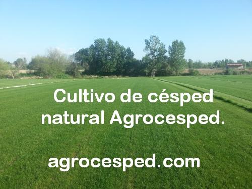 Plantación de tepes-Agrocesped